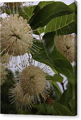 Cephalanthus Occidentals The Button Bush 2 Canvas Print