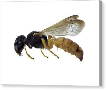Cerceris Flaviventris Wasp Canvas Print
