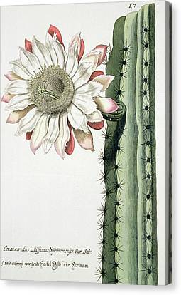 Cereus Erectus Altissimus Syrinamensis Canvas Print by Johann Wilhelm Weinman
