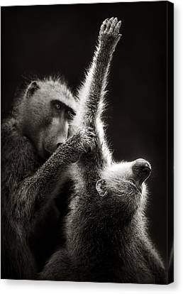 Chacma Baboons Grooming Canvas Print by Johan Swanepoel