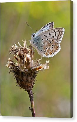 Chalkhill Blue Butterfly On Knapweed Canvas Print