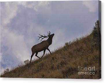 Challenge Of The Bull Elk Canvas Print by Sandra Bronstein