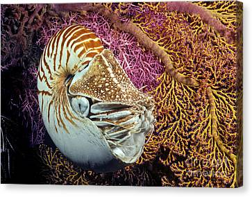 Simple Beauty In Colors Canvas Print - Chambered Nautilus _nautilus Pompilius__ Indonesia by Dave Fleetham