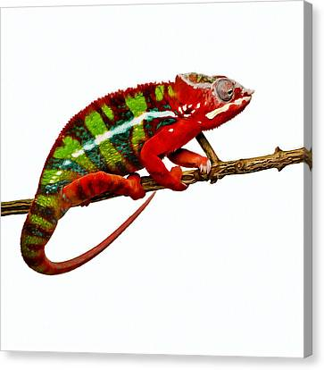 Chameleon 1 Canvas Print by Lanjee Chee