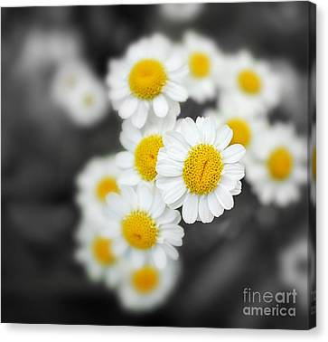 Chamomile Canvas Print by Jane Rix