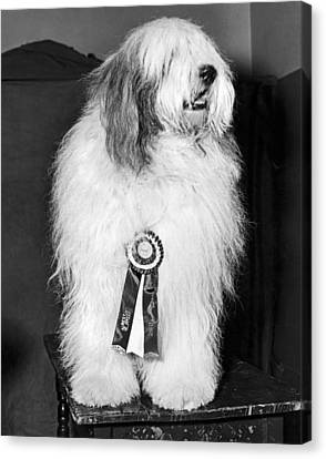 Champion Sheepdog Canvas Print by Underwood Archives