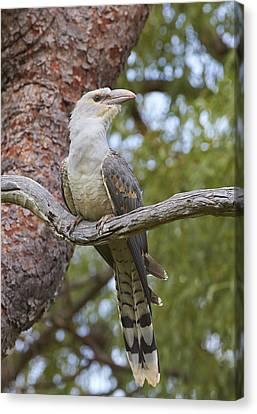 Channel-billed Cuckoo Fledgling Canvas Print by Martin Willis