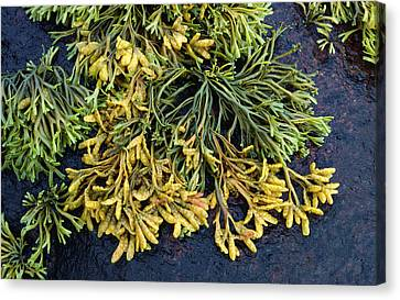Channelled Wrack Canvas Print by Nigel Downer