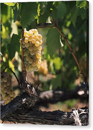 Chardonnay Grapes In Vineyard, Carneros Canvas Print by Panoramic Images