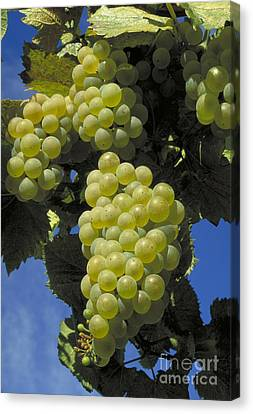 Chardonnay Wine Grapes Canvas Print by William H. Mullins