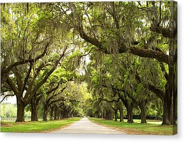 Live Oaks Canvas Print - Charleston Avenue Of Oaks by Stephanie McDowell