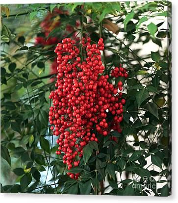 Charleston Red Berries Canvas Print