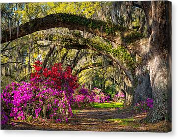 Live Oaks Canvas Print - Charleston Sc Spring Azalea Flowers - A Servant's Grace by Dave Allen