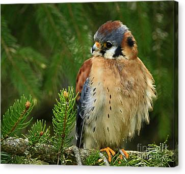 Shelley Myke Canvas Print - Charming By Nature American Kestrel Falcon.  by Inspired Nature Photography Fine Art Photography