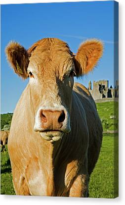 Charolais Cattle,near The Rock Canvas Print by Panoramic Images