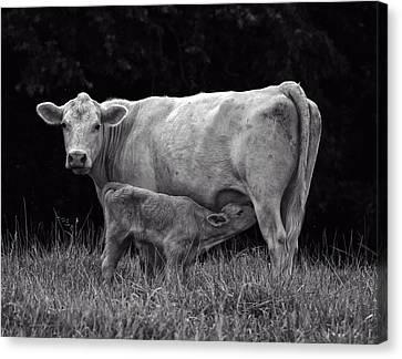 Charolais Cow Canvas Print by Chris Flees
