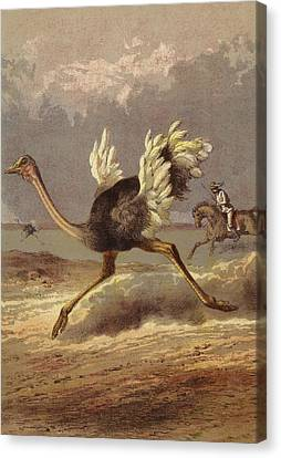 Chasing The Ostrich Canvas Print by English School