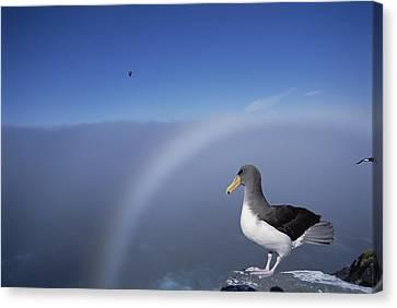 Chatham Albatross On Cliff Edge Chatham Canvas Print