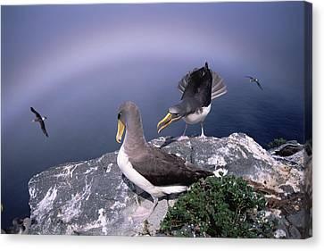 Chatham Albatross Pair On Cliff Chatham Canvas Print