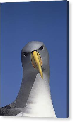 Chatham Albatross Portrait Chatham Canvas Print