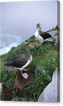 Chatham Albatrosses Nesting On A Cliff Canvas Print