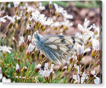 Steen Canvas Print - Checkered White Butterfly by Kathleen Bishop