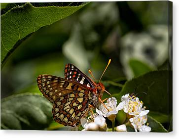Checkerspot Sipping Nectar Canvas Print by Kathleen Bishop