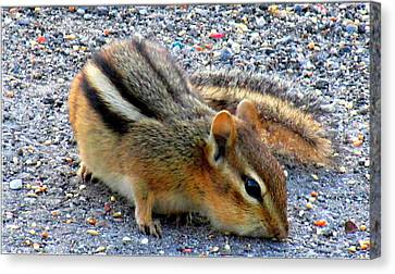 Cheeky Chipmunk Canvas Print by Danielle  Parent