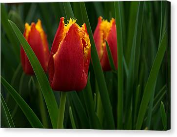 Cheerfully Wet Red And Yellow Tulips Canvas Print by Georgia Mizuleva