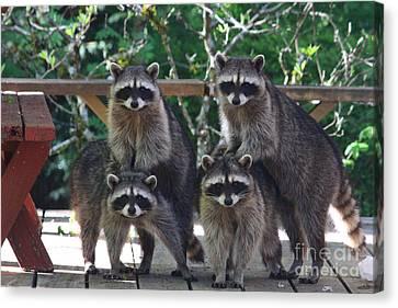 Four Animal Faces Canvas Print - Cheerleading Raccoons by Kym Backland