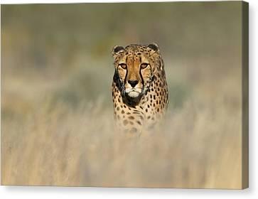 Cheetah Acinonyx Jubatus In A Field Canvas Print by Panoramic Images