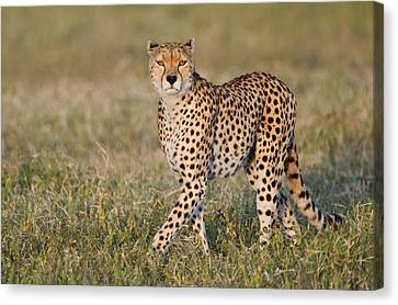 Cheetah Acinonyx Jubatus In A Forest Canvas Print by Panoramic Images