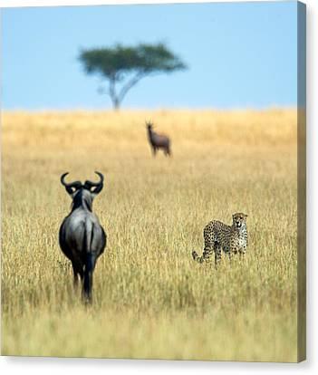 Cheetah Acinonyx Jubatus Canvas Print by Panoramic Images