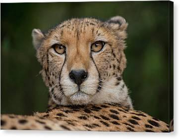 Cheetah (acinonyx Jubatus Canvas Print by Pete Oxford