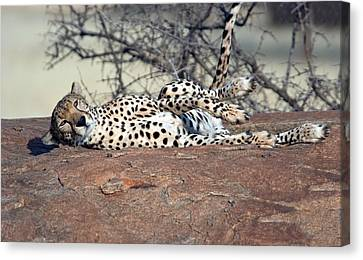 Cheetah Acinonyx Jubatus Resting Canvas Print by Panoramic Images