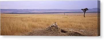 Cheetah Acinonyx Jubatus Sitting Canvas Print by Panoramic Images