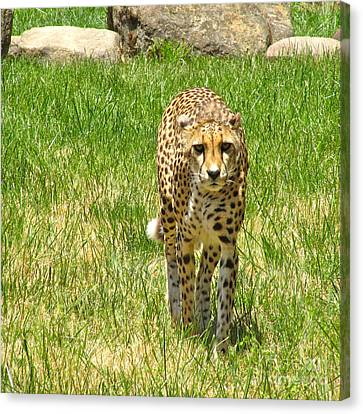 Cheetah Approaching Canvas Print by CML Brown