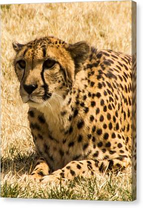 Canvas Print featuring the photograph Cheetah by Cathy Donohoue