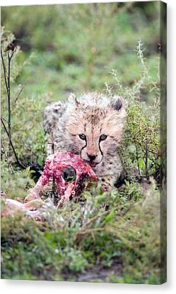 Cheetah Cub Acinonyx Jubatus Eating Canvas Print by Panoramic Images