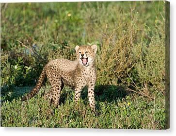 Cheetah Cub Acinonyx Jubatus Yawning Canvas Print by Panoramic Images