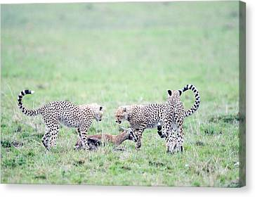 Cheetah Cubs Acinonyx Jubatus Hunting Canvas Print by Panoramic Images
