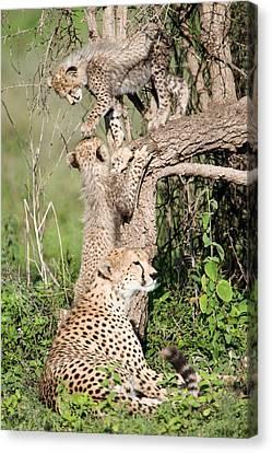 Cheetah Cubs Acinonyx Jubatus Canvas Print by Panoramic Images