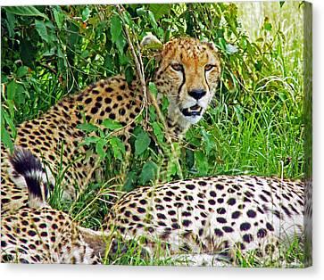 Cheetah In The Masai Mara. Canvas Print by Tony Murtagh