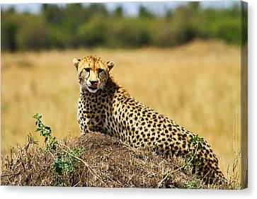 Cheetah Canvas Print by Kongsak Sumano