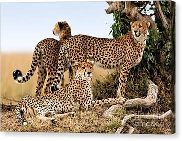 Cheetah Mother And Two Older Cubs In Masai Mara Canvas Print