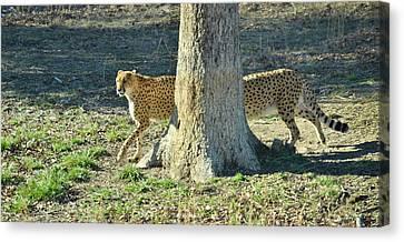 Cheetah Stretch Canvas Print