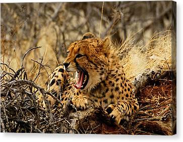 Cheetah Teeth Canvas Print by Stefan Carpenter