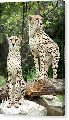 Cheetah's 03 Canvas Print