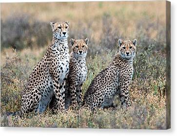 Cheetahs Acinonyx Jubatus In A Field Canvas Print by Panoramic Images