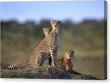 Cheetah Canvas Print - Cheetahs Family by Sultan Sultan Al